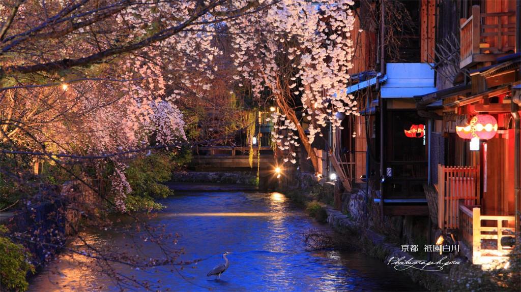 夜桜祇園4