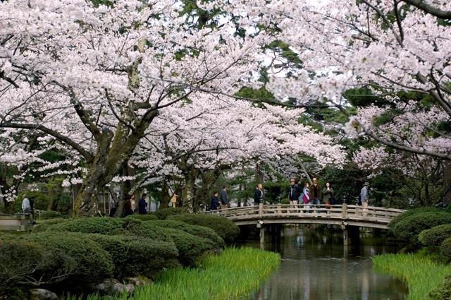 卯辰山公園桜